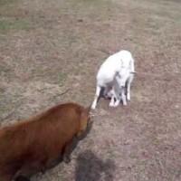 【動画】豚の上に子ヤギが乗っちゃった!!「子ヤギ on 豚」が可愛い