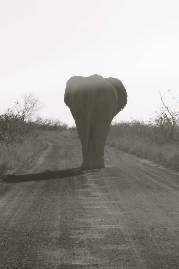 象の後ろ姿のモノクロ写真