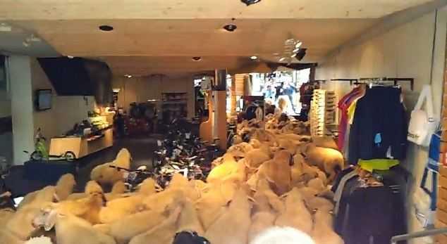 羊が乱入したオーストラリアのスポーツ店の中の様子