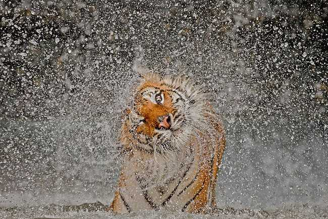 タイの虎の写真