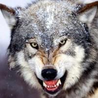 【動画】狼と熊の・・・死闘!?・・・あれ??