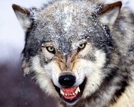 狼の画像 「前門の虎、後門の狼」ということわざがあるように、狼というのは虎と並び称... 【動画