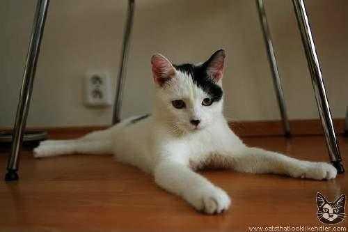 ヒトラーみたいな猫の画像4