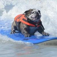 犬のサーフィン大会「サーフシティ·サーフドッグコンテスト」