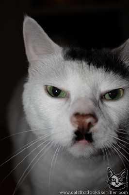 ヒトラーみたいな猫の画像7