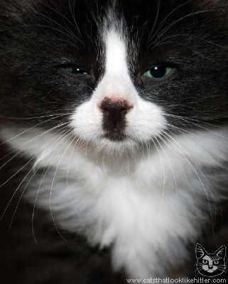 ヒトラーみたいな猫の画像2