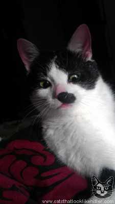 ヒトラーみたいな猫の画像3