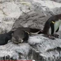 【動画】ペンギン「絶対に押すなよ・・・絶対にな・・・」→押してくれフラグ