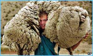 6年間の逃亡生活でモコモコになりすぎた羊「Shrek(シュレック)君」