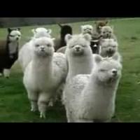 【動画】アルパカがどんどん近づいてくる動画