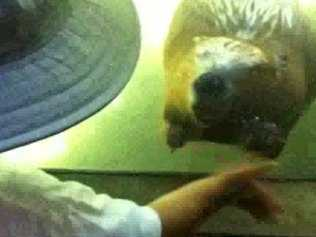 【動画】手を振ったら振り返してくれるビーバーがカワイイ!!
