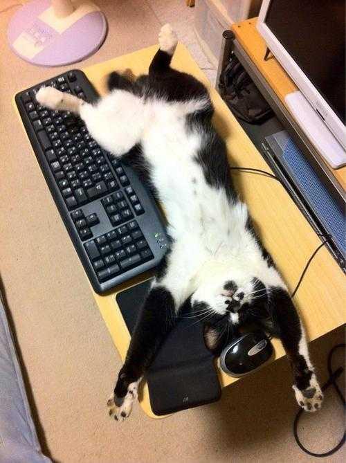 全力でパソコンを使わせない攻撃をする猫の写真