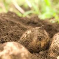 【Twitterで話題】こ、これが新種のジャガイモか・・・!!