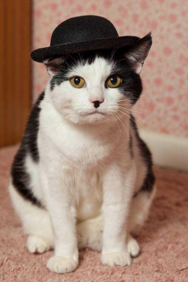 チャップリンにそっくりな猫「チャーリー」の写真