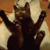 【萌死注意】黒猫が「こちょこちょこちょ~・・・ばぁ~~~」ってなる動画