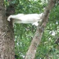 【動画】今助けるからねー!!木から降りられない子猫を助ける母猫