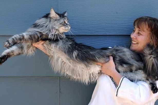 世界最長の猫「Stewie(スチューイー)」が長い闘病生活の末に亡くなる