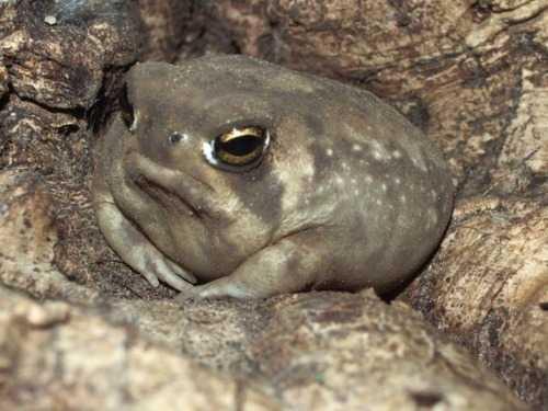 【爬虫類 / 閲覧注意】なんだこの可愛い生物は!!「フクラガエル」がカワイイ!!