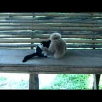 【動画】猫 vs テナガザルの赤ちゃんが可愛すぎるwww