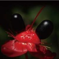 【植物】ミッキーマウスプラントって植物知ってる?