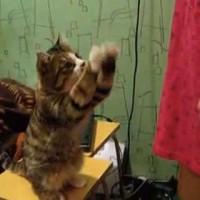 【動画】「なでなでして!」物凄く具体的にアピールする猫が可愛い!