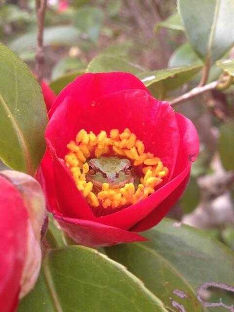 【画像】「庭の椿の花の中にアマガエルがはまっていた」とTwitterで話題