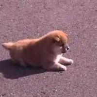 【動画】めちゃくちゃ可愛いコロッ・・・コロ!の柴犬の子犬