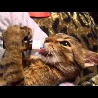 【動画「ニャムニャムニャムニャウミャイニャイ!!」って言いながらペロペロする猫