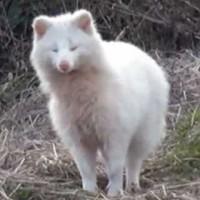 【動画】幸運を呼ぶ?「真っ白なタヌキに出会った」