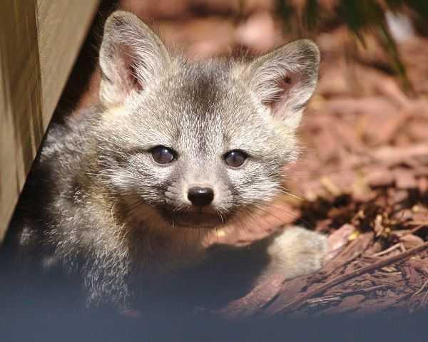 Facebook本社で産まれたキツネの赤ちゃん「FB FOX」お母さんは「Firefox」