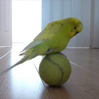 【動画】テニスボールで器用に玉乗りするインコが可愛い!!