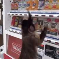 自動販売機にお金を入れてジュース買う猿「アキちゃん」が超可愛いwww