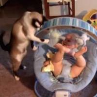 【動画】玩具を揺らして赤ちゃんをあやすベビーシット猫