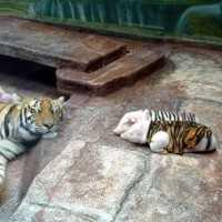 虎柄の子ブタを虎が育てる育成プラグラムが凄い!
