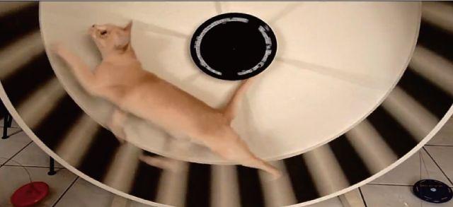 【動画あり】ハムスター顔負け!猫用の回し車がイケてるw