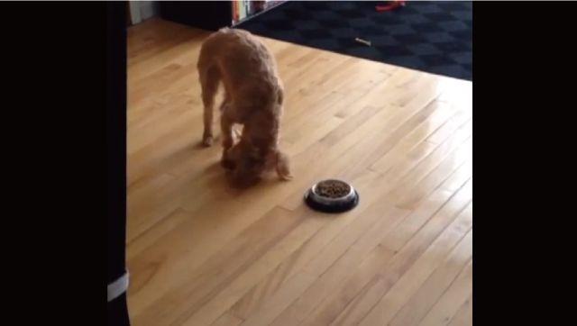 【動画】ご飯を食べる前にお皿に向かって土下座しまくる犬がカワイイ!