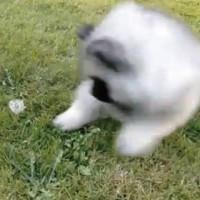 【動画】壮絶!!「たんぽぽ vs 犬」