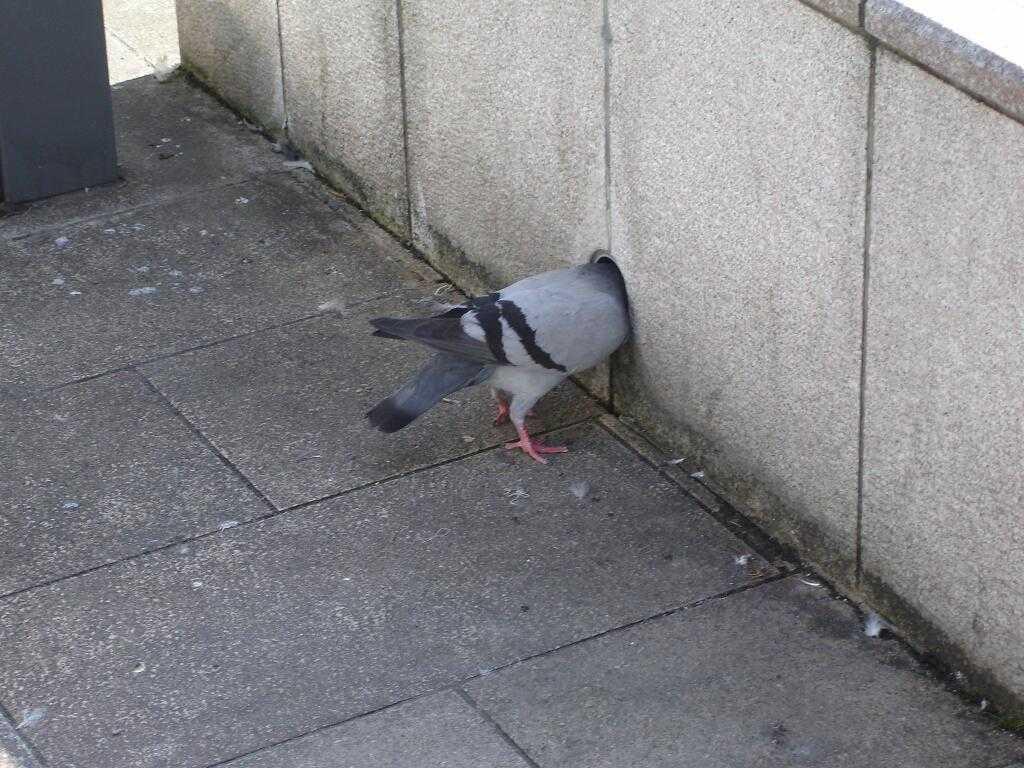 【小ネタ】「頭隠して尻隠さずな鳩」がTwitterで話題