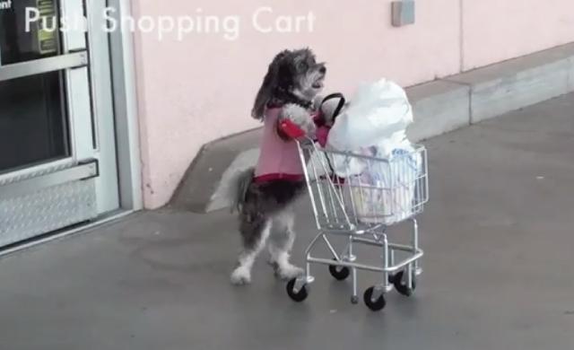【動画】天才犬ジャスミンちゃんの可愛いく凄い45の技集