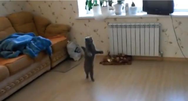 【動画】腰をフリフリしながら陽気に二足歩行する猫