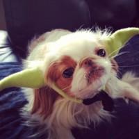 愛犬をスターウォーズのヨーダに変身させるヘアバンド「Star Wars Yoda Dog Headband」
