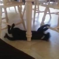 【動画】忍者?軍隊の訓練?奇妙な動きをする猫が海外で話題
