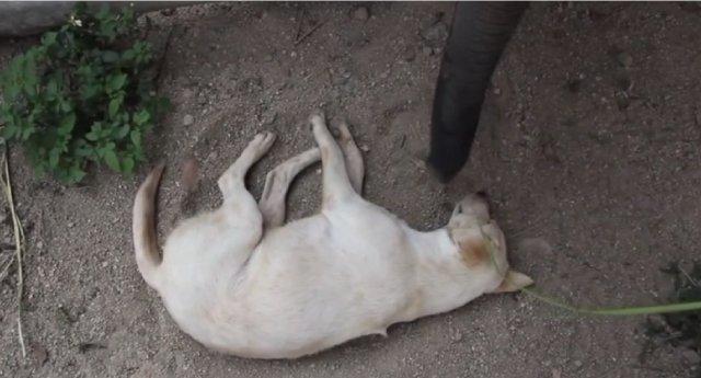 【動画】全然起きない犬 vs 起こそうと色々考える赤ちゃん象