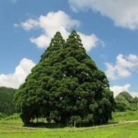 Twitterで話題の「トトロの木」がどこにあるのか調べてみたよ