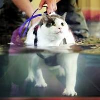 デブ猫「ブッダ」君を救え!救出された猫のエクサイズ風景が可愛いと話題