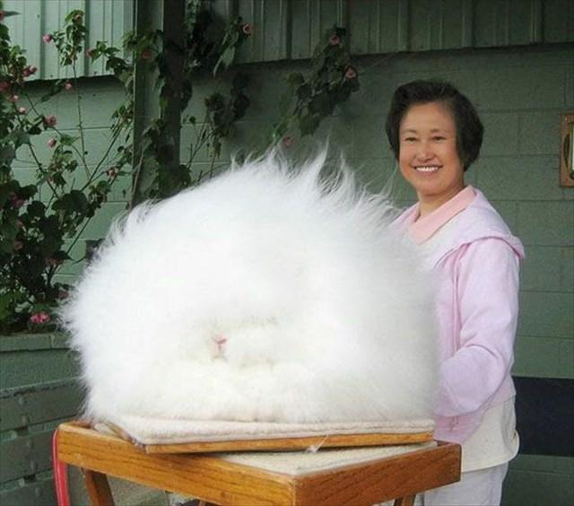 ふわふわにも程がある!ふわふわ過ぎるアンゴラウサギが凄い!