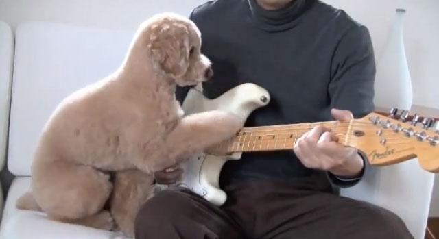【動画】お父さんと一緒にギターを弾くのが大好きなトイプードルのモカ君が可愛いよ!