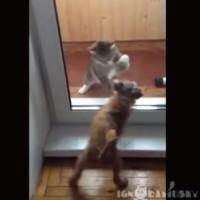 【動画】決して決着が着かない!犬と猫のガラス越しの喧嘩