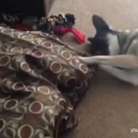 【動画】「猫にベッドを横取りされた犬の動画集」がめっちゃ可愛いwww