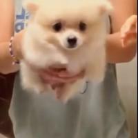 【動画】空中で足をパタパタさせる白いポメラニアンが超可愛い!!!